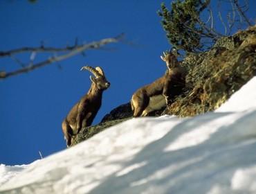 Koziorożce alpejskie - herbowe zwierzęta Narodowego Parku Stelvio