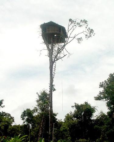 Papuaski domek na drzewie wybudowany jest ponad koronami drzew