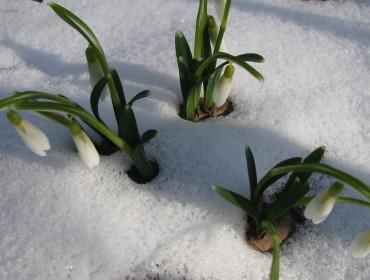 Pierwsze przebiśniegi w Ogrodzie Botanicznym w Lublinie