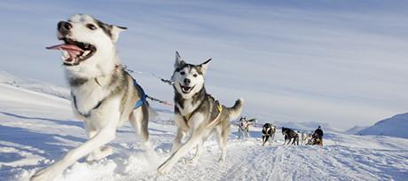 Wesołe husky z psiej wioski w Riksgränsen