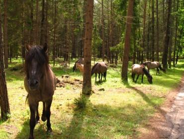 Koniki polskie. Źródło: http://www.it.mragowo.pl/media/art/1026/file/Popielno.JPG