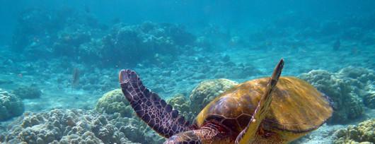 Dorosły żółw zielony spokojnie penetruje przybrzeżne rafy - Cypr. Źródło: www.blog.cypruscoupon.com
