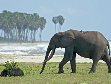Słoń na plaży Loango w Gabonie - zachodnia Afryka. Źródło: www.bbc.co.uk