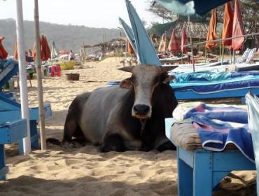 Relaksująca się na plaży Anjuna krowa - Goa