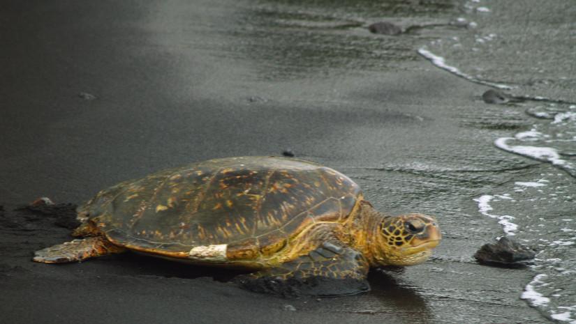 Szylkretowy żółw wygrzewa się na czarnej plaży Punalu'u