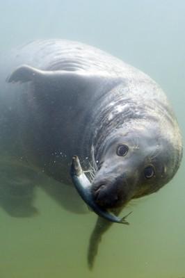 BUBAS - foka z helskiego fokarium. Źródło: www.fokarium.pl/