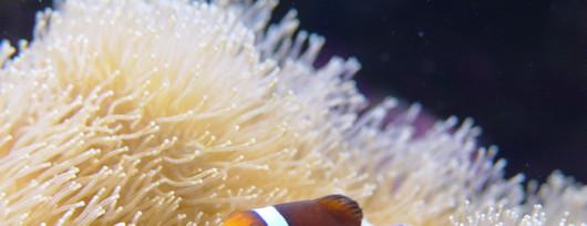 Błazenek ''Nemo'' w Akwarium w Gdyni. Źródło: www.akwarium.gdynia.pl