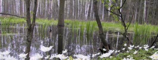 Piękne zawilce w Lesie Łagiewnickim. Źródło: www.pkwl.pl