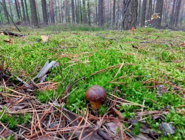Dorodny podgrzybek z otwockich lasów