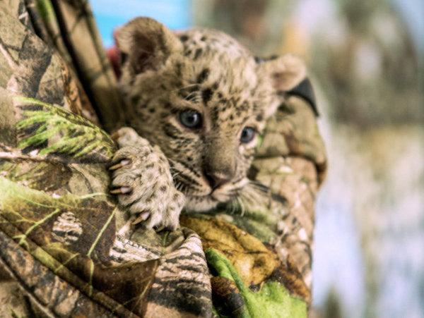 Mały leopard w Sochijskim Parku Narodowym. Źródło: www.en.ria.ruhttp://en.ria.ru