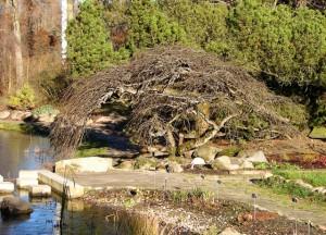 Płacząca odmiana wiązu górskiego w arboretum w Rogowie