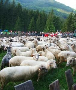 Redyk owiec w Korbielowie