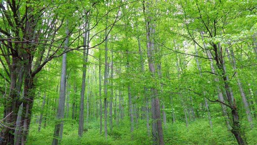 Gęsty las na czarnym szlaku na Górę Tuł.