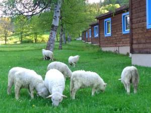 Owieczki z Pienińskiego Parku Narodowego